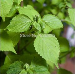 Green Su, Crisped Common Perilla, edible leaves -