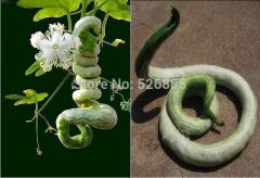 Snake Gourd Seed , serpentgourd, Trichosanthes