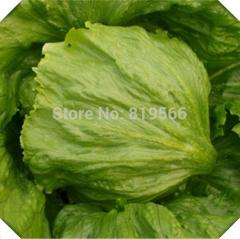 100 pcs sale Green Romaine lettuce vegetables