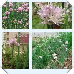 100pcs Chinese Chive Allium schoenoprasum