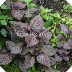50pcs purple leaf Chinese vegetables seeds home