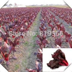 5g Chinese Purple Sugar Beets vegetables seeds