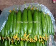 Dutch cucumber, cucumber seeds, fruits and