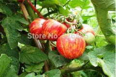 Cheap Sale Red multicolored tomatoes, tomato