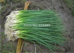 The four seasons shallot,Chives - 100 Seed