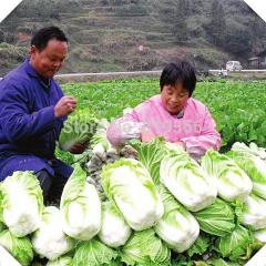 80pcs Chinese Cabbage vegetables seeds indoor home