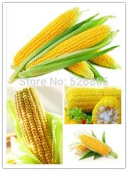 Yellow waxy corn seeds, corn seed, Golden corn