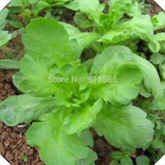 100pcs Green Big leaf crown daisy vegetables seeds