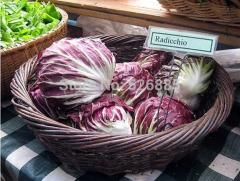 Free shipping Cabbage chicory,Endive Cichorium