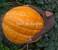 Superman pumpkin, large pumpkin, pumpkin Vegetable