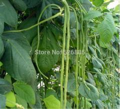 Vigna unguiculata,cowpea,Green the cowpea - 20
