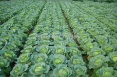 Broccoli, cabbage, vegetable seeds nutrition - 50