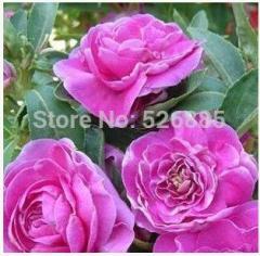 Purple Camellia Impatiens, henna seeds, indoor