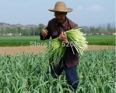 Free shipping Chinese leek Seeds, garlic,Organic