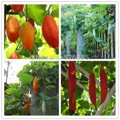 Free Shipping  Lao Shu Gua Seeds(Mouse