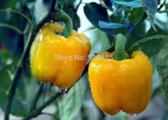 Orange bell pepper, sweet pepper seeds,  organic