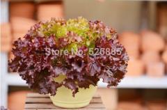 Caiye lettuce seeds, lettuce seeds,Health