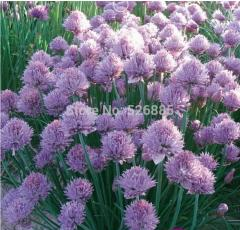Perennial chives, Chives seeds, onion Branch - 50