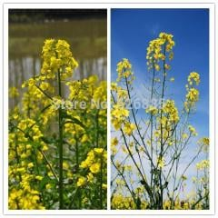 Canola flower seeds, rape seeds, edible juice can