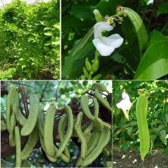 Free shipping knifebean seed,  white beans ,