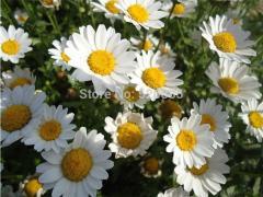 Leucanthemum paludosum, chrysanthemum seeds, seeds