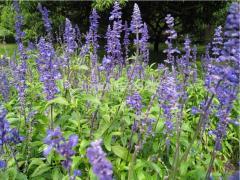 Blue butterfly sage, sage seeds, garden sage - 50