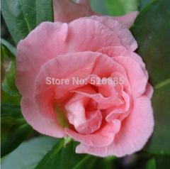 Free shipping Camellia Impatiens, pink garden