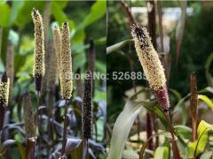Pennisetum glaucum, ornamental millet,
