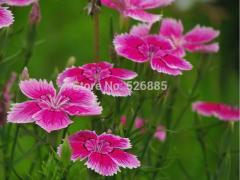 Dianthus deltoids, Carnation seeds, maiden pink