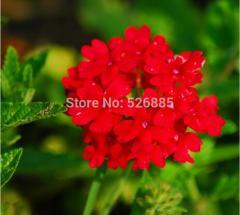 Red Hydrangea Verbena seed, four hydrangea seeds,