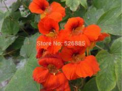 Garden nasturtium, nasturtium,  Four Seasons