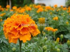 French marigold Tagetes patula,Tagetes patula