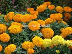 Chrysanthemum marigold, aztec marigold, Marigold