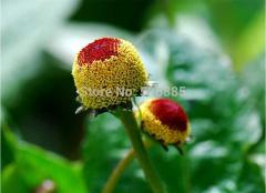 Free shipping Perennial flower seeds longan