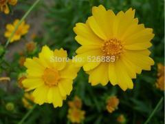 Coreopsis grandiflora, Coreopsis seed, bigflower