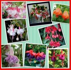 Fuchsia,fuchsia seeds,flower fuchsias seeds -