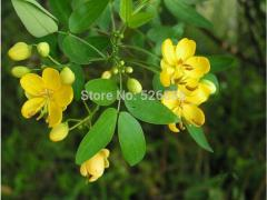 Cassia, semen cassiae seeds, medicinal Cassia  -