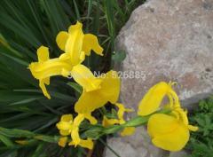 Iris,Aquatic iris,Iris wilsonii - 5 Seed particles