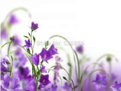 Campanula flower clusters, Campanula flowers,