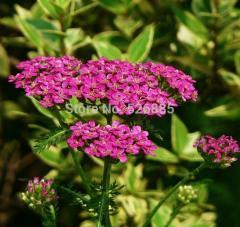Free Shipping Achillea millefolium,toothedleaf