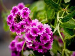 Verbena  seed,Verbena tenera,Pinnata verbena - 30