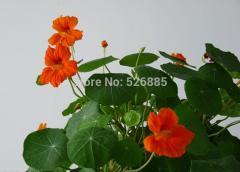 Nasturtium flowers,garden nasturtium seeds,potted