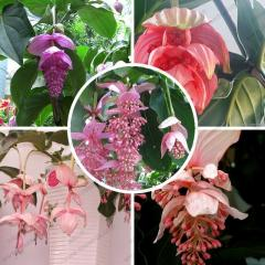 Medinilla lanceata seed perennial Medinilla bonsai