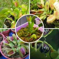 Potted Insectivorous Plant Seeds Dionaea Muscipula