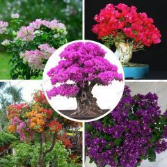 Plants Sementes De Flores  Bougainvillea