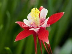 Hung Shan Aquilegia, Aquilegia seeds, columbine