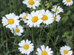 M. buster, chamomile seeds, perennial pyrethrum  -