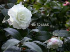 White Camellia Impatiens,garden balsam, potted