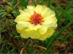 Oriole sunflowers, yellow sun plant, Portulaca