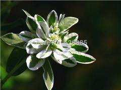Euphorbia marginata,White Flower Euphorbia